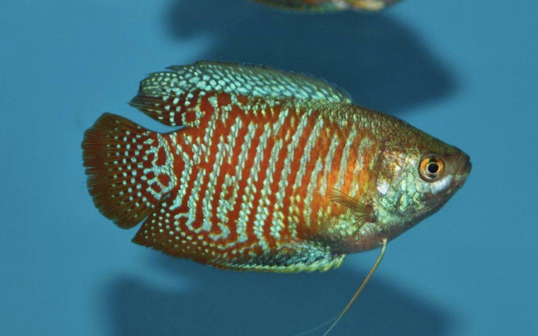 Dværgguramien (Trichogaster lalius)
