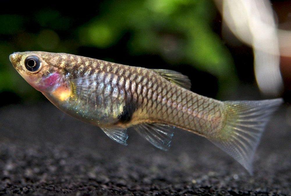 Guppy (hunner) – Poecilia reticulata