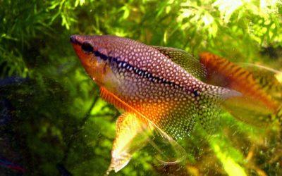 Perle Gurami – Trichogaster Leeri
