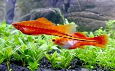 Sværddrageren – Xiphophorus helleri