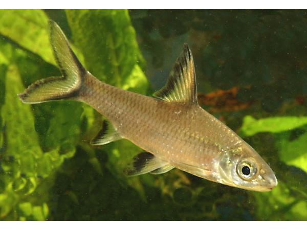 Balihaj – Balantiocheilos melanopterus