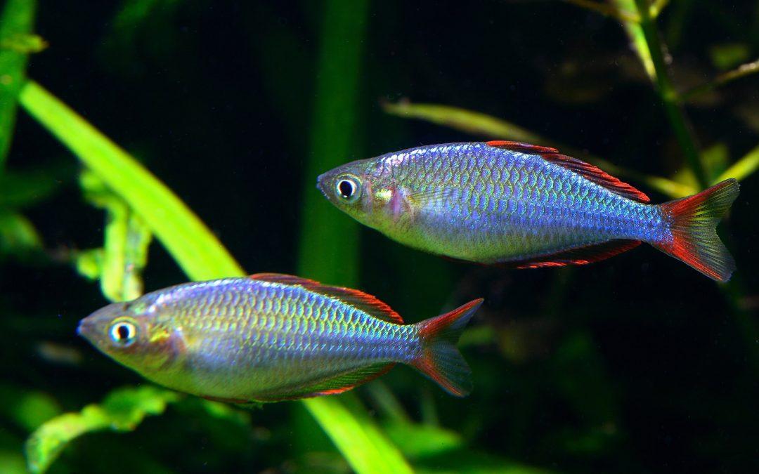 Neon regnbuefisk