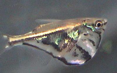 Marmoreret øksefisk – Carnegiella strigata