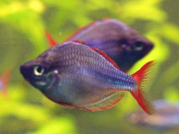 Neon regnbuefisk – Melanotaenia praecox