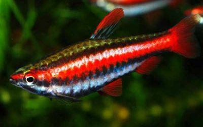Rød blyant fisk – Nannostomus mortenthaleri