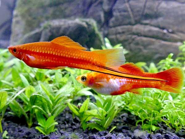 Sværddrager Koi – Xiphophorus hellerii