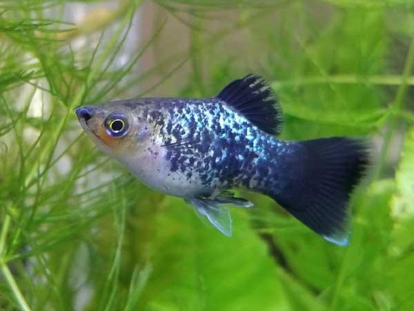 Xiphophorus maculatus – platy