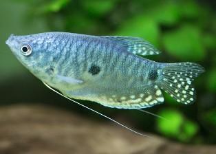 Blå gurami (Trichopodus trichopterus)