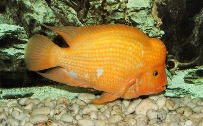Papegøje fisk orange