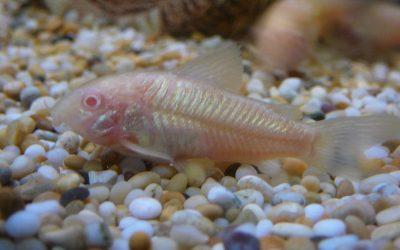 Panser malle (Albino)