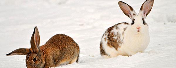 Hvornår er det for koldt for kaniner og marsvin ?