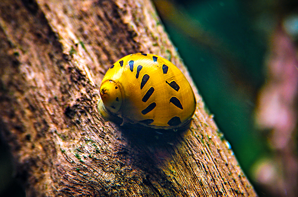Tiger snegle