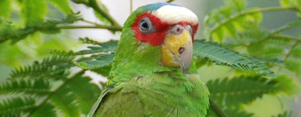 Hvidpandet amazone papegøje  – også kaldet Brille amazone