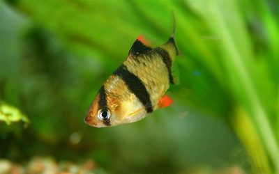 Tigerbarbe – Puntius tetrazona