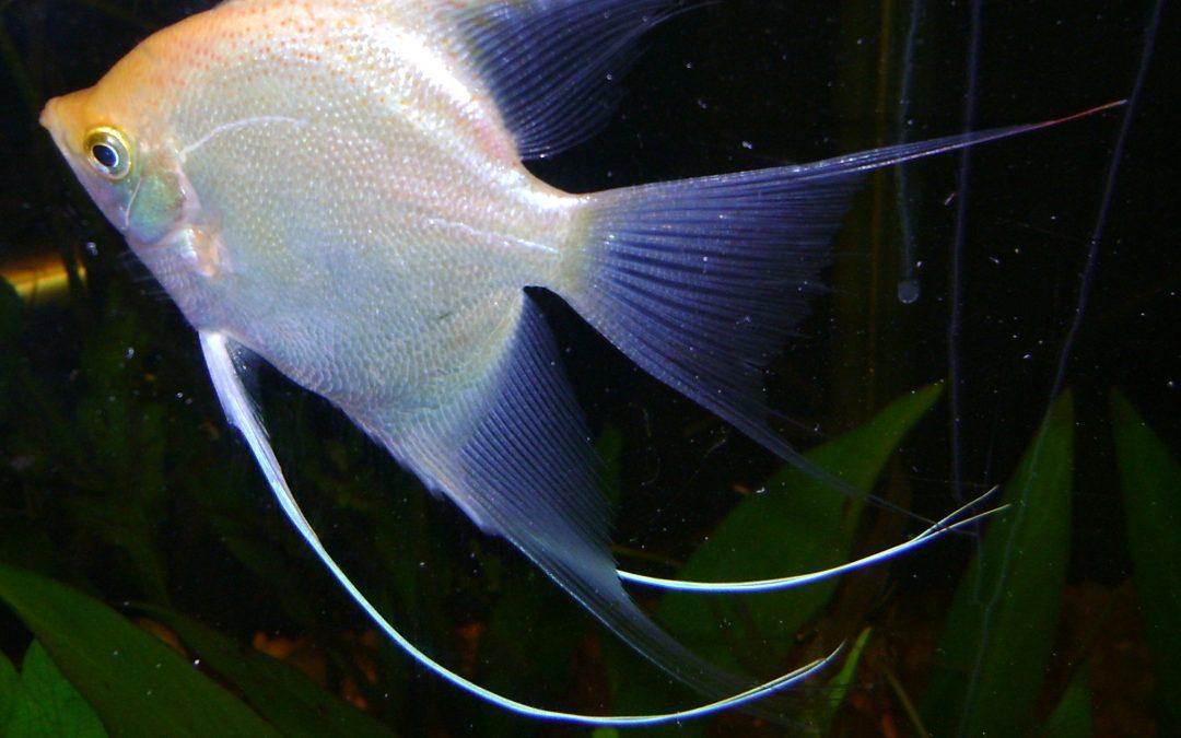 Scalare hvid