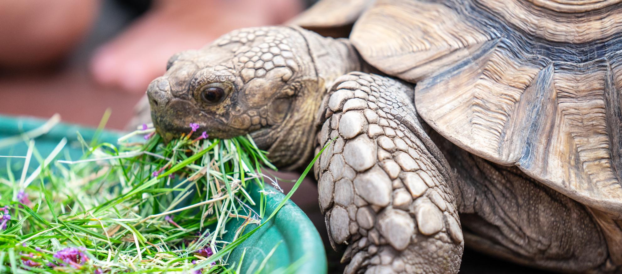 hvad spiser en landskildpadde