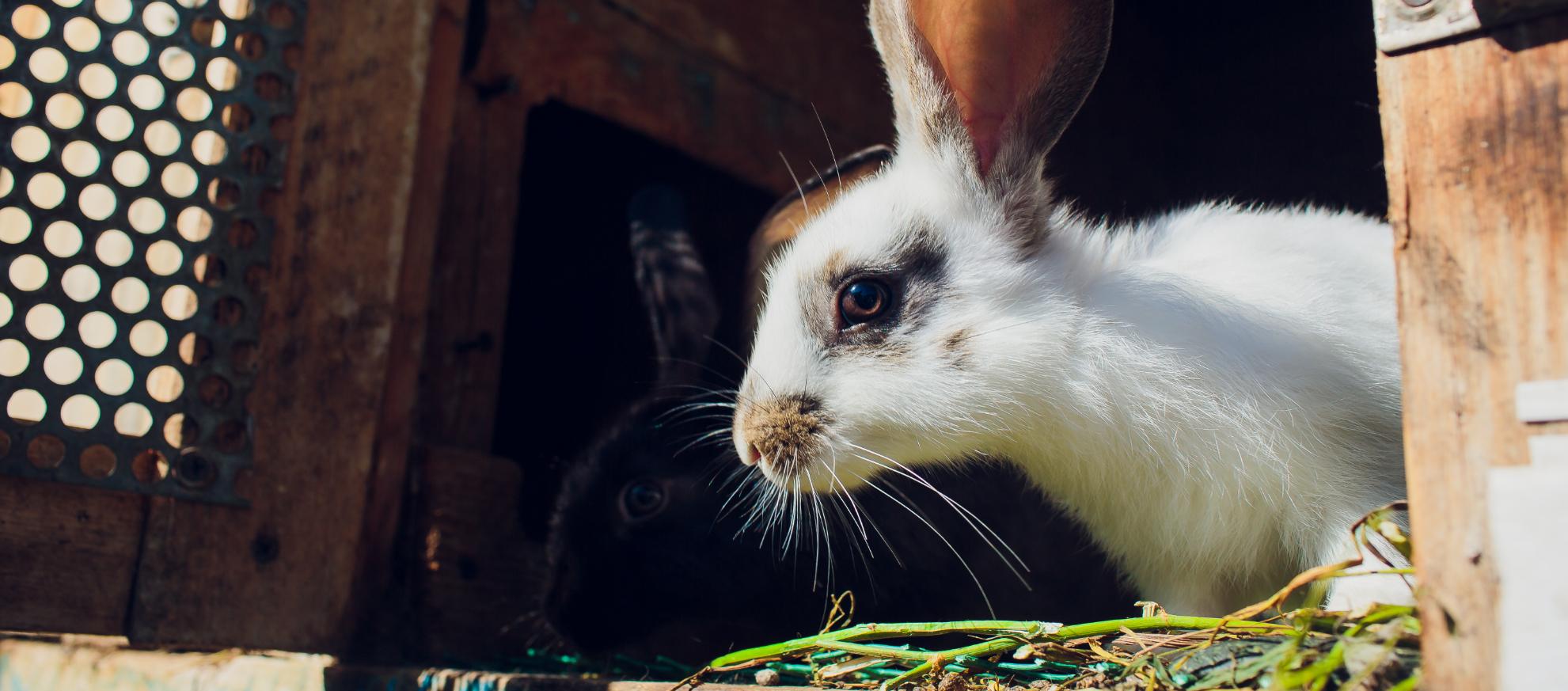 kanin i udendørsbur