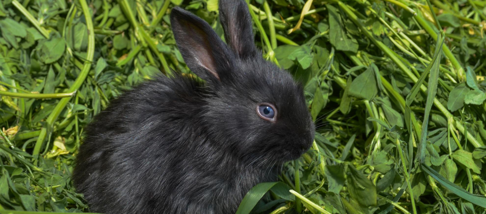 kanin med grønt