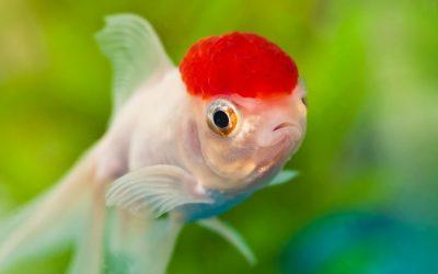 Slørhale redcap