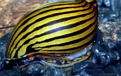 Zebra snegle