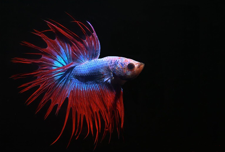 Kampfisk, betta imbellis vf, crowntail