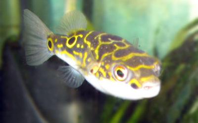 Kuglefisk Mønster, Dichotomycter ocellatus