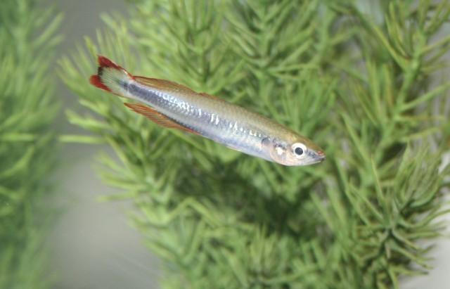 Regnbuefisk – madagaskar regnbuefisk