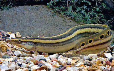 Snabel ål – Macrognathus siamensis