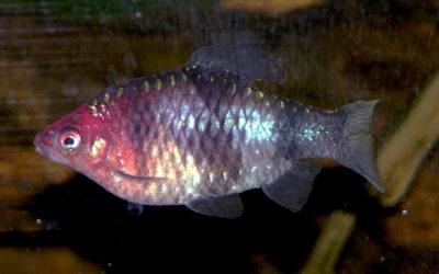 Sort rubinbarber / Tigerbarbe Rød
