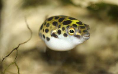 Kuglefisk grøn plettet