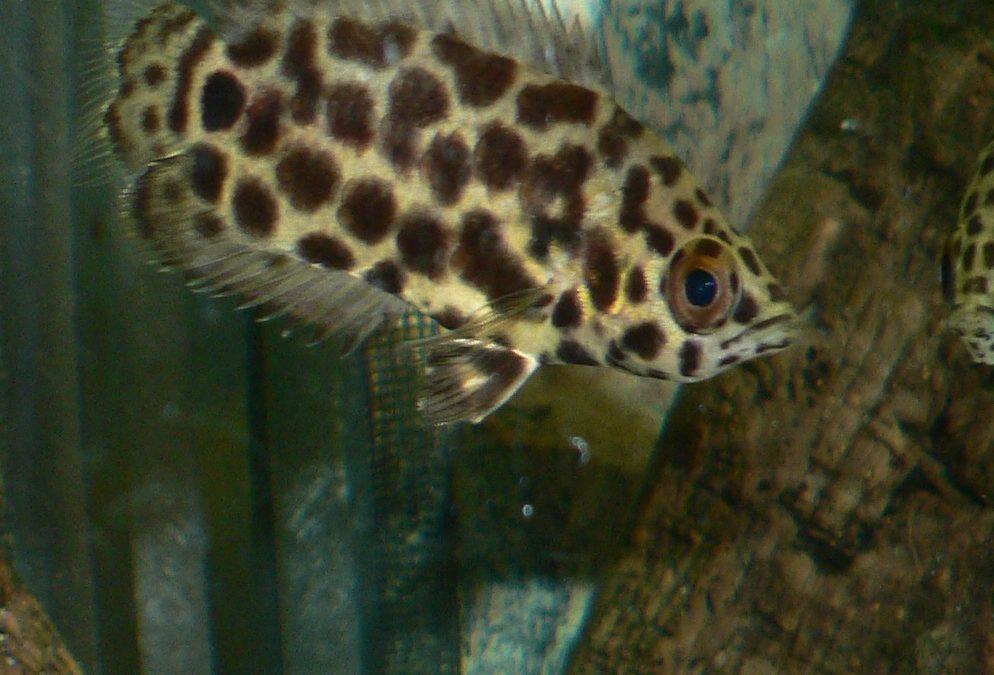 Leopard Busk Fisk